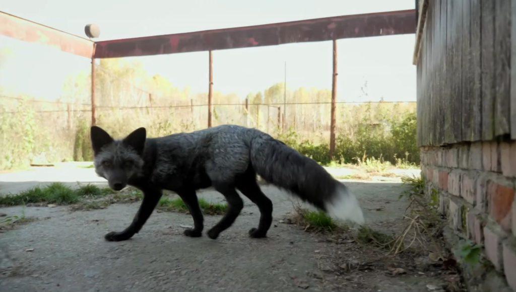 Filmando zorros domesticados en Rusia